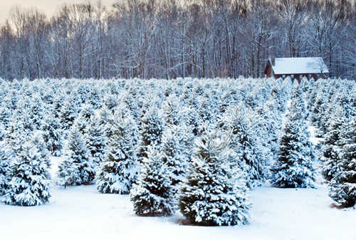 Christmas Tree Farm in Winter with Snow