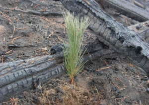 Living tree Sapling among forest fire destroyed trees