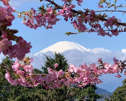 Brilliantly colored Cherry Blossom trees with Mt. Fuji in the background