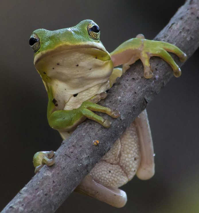Tree frog on tree branch