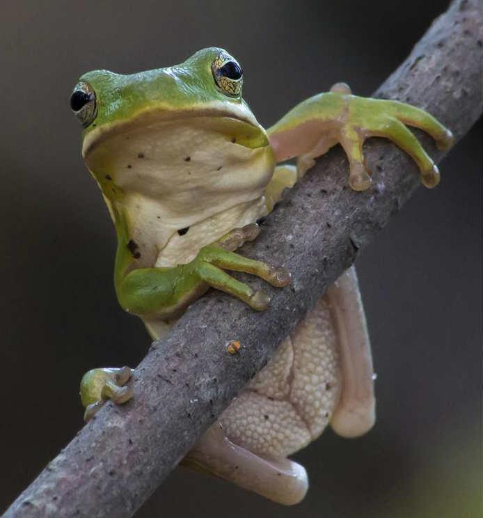 Tree frog on tree branch