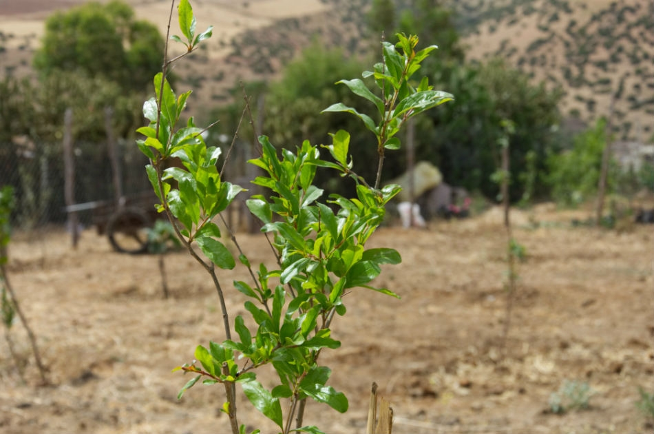 Planting gift trees in Morocco