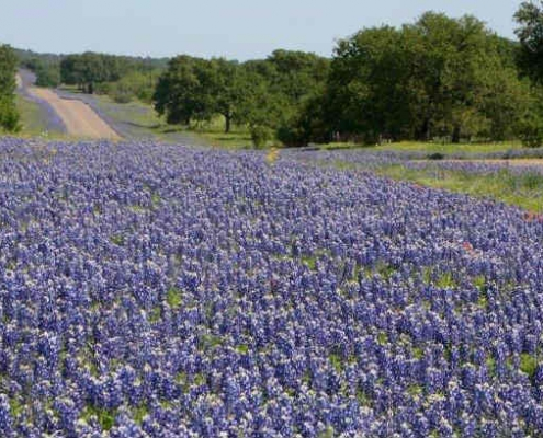 Beautiful purple wildflowers along Texas highways