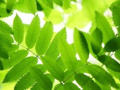 Rowan Tree Leaves