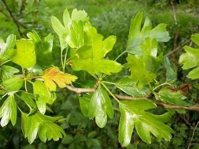 Hawthorn Tree Leaves