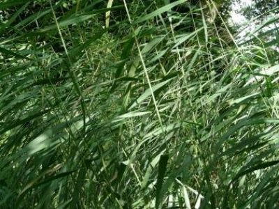 Reed Leaves