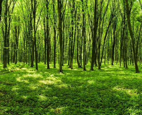 Panoramic view of a sunny spring forest