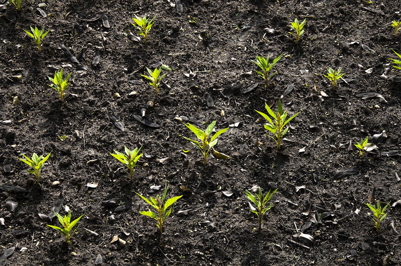 Lush field of newly planted tree saplings