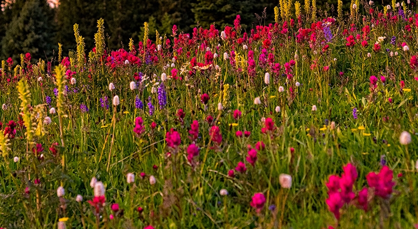 Colorful field of wild flowers